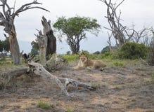 León en el parque, Kenia Imagen de archivo