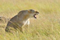 León en el parque nacional de Kenia, África Fotografía de archivo