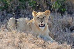 León en el parque nacional de Kenia, África Imagen de archivo libre de regalías