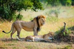 León en el parque nacional de Kenia fotos de archivo