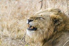 León en el parque nacional de Kruger, Suráfrica Imágenes de archivo libres de regalías