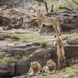 León en el parque nacional de Kruger, Suráfrica Imagen de archivo
