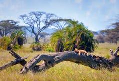 León en el parque nacional de Serengeti Foto de archivo