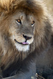 León en el parque nacional de Serengeti, Tanzania, África Imagenes de archivo