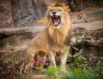 León en el parque zoológico Imagen de archivo libre de regalías