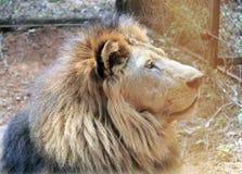 León en el parque zoológico Fotografía de archivo libre de regalías