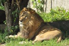 León en el parque zoológico Fotos de archivo libres de regalías