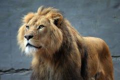 León en el parque zoológico Foto de archivo libre de regalías