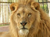 León en el parque zoológico, animal hermoso de la selva del rey foto de archivo