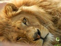 León en el parque zoológico, animal hermoso de la selva del rey fotografía de archivo libre de regalías
