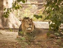 León en el parque zoológico de Delhi imágenes de archivo libres de regalías