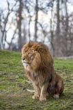 León en el parque zoológico en Varsovia Foto de archivo