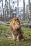 León en el parque zoológico en Varsovia Fotos de archivo