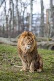 León en el parque zoológico en Varsovia Fotografía de archivo libre de regalías