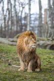 León en el parque zoológico en Varsovia Fotografía de archivo