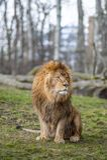 León en el parque zoológico en Varsovia Imágenes de archivo libres de regalías