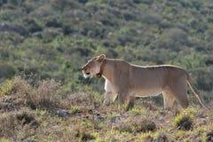 León en el salvaje Foto de archivo libre de regalías