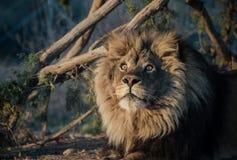 León en el sol de la mañana Foto de archivo