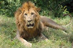 León en Kenia Fotografía de archivo libre de regalías