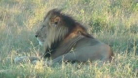 León en Kenia almacen de metraje de vídeo