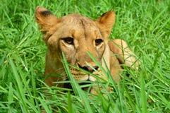 León en la hierba Imagen de archivo libre de regalías