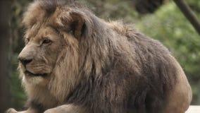 león en la mentira del parque zoológico metrajes