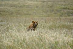 León en la sabana Foto de archivo libre de regalías