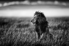 León en la sabana del Masai Mara en Kenia Fotos de archivo