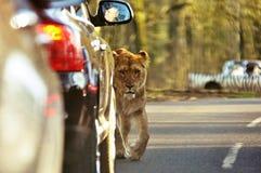 León en LongLeat Foto de archivo