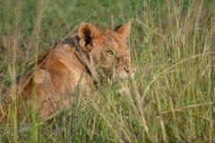 León en Maasai Mara, Kenia Fotos de archivo libres de regalías