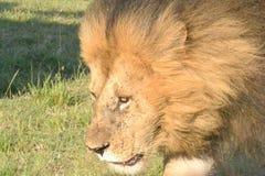 León en Maasai Mara, Kenia Foto de archivo