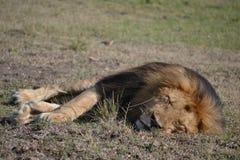 León en Maasai Mara, Kenia imagenes de archivo