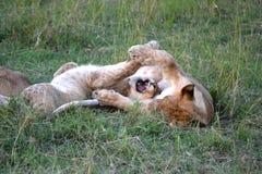 León en Maasai Mara, Kenia imagen de archivo