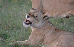 León en Maasai Mara, Kenia fotografía de archivo libre de regalías