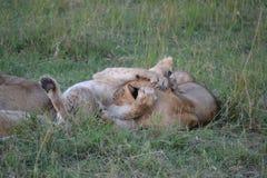 León en Maasai Mara, Kenia fotos de archivo