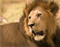 León en Masai Mara imagen de archivo libre de regalías