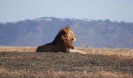 León en Ngorongoro N.P. imagenes de archivo