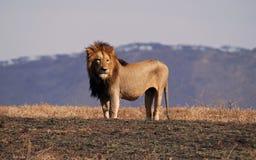 León en Ngorongoro N.P. imagen de archivo