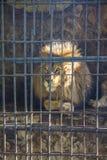 León en parque zoológico Imágenes de archivo libres de regalías