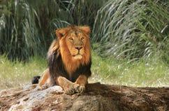 León en safari. Foto de archivo libre de regalías