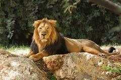 León en safari. Fotografía de archivo libre de regalías