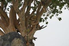 León en Serengeti, Tanzania Imagenes de archivo