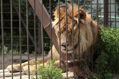 León en sueño de la jaula del parque zoológico y calentado Imágenes de archivo libres de regalías