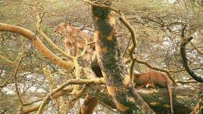 León en un árbol, Nakuru Park metrajes