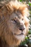 León en un parque de juego en Zimbabwe Fotos de archivo libres de regalías
