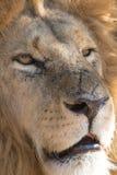 León en un parque de juego en Zimbabwe Imagenes de archivo