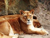 León en un parque zoológico Imágenes de archivo libres de regalías