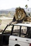 León en un vehículo Imágenes de archivo libres de regalías