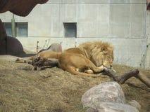 León enorme que tiene una siesta en el parque zoológico de Toronto imagenes de archivo
