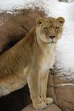 León femenino Imágenes de archivo libres de regalías